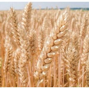 Озимая пшеница Богдана