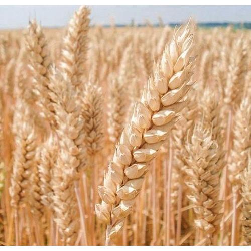Озима пшениця Богдана