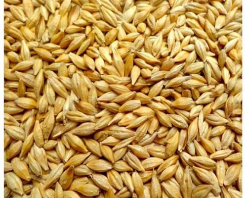 Семена канадского ячменя озимый шести рядный сорт «Фантом» (Рhantom)