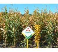 Семена кукурузы Вилия ФАО 300