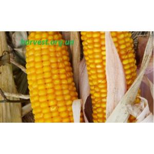 Семена кукурузы Амарок-290