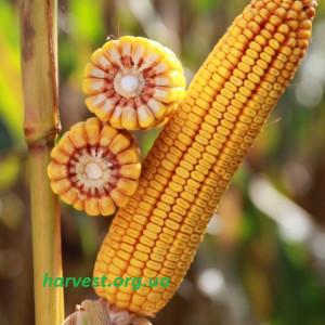 Семена кукурузы КВС Кашемир