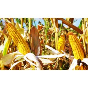 Кукуруза Тесла семена
