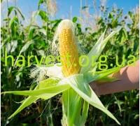 Семена кукурузы ДК Велес
