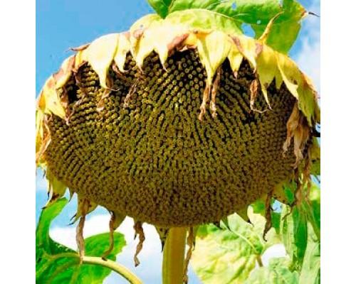 Подсолнечник Анцилла Период вегетации:106 дней