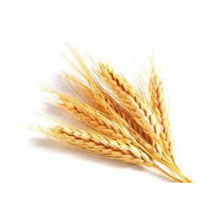 Семена озимой пшеницы