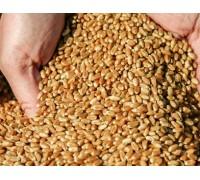Семена Канадской Пшеницы - озимого  сорта «Квебек-117