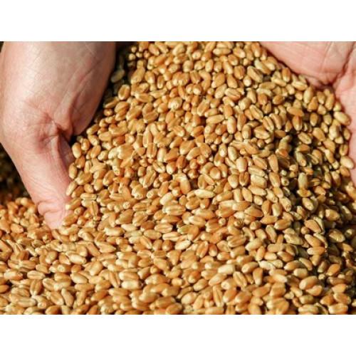 Семена озимой пшеницы Квебек-117