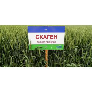 Озимая пшеница Скаген