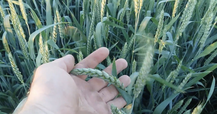 фото пшениця Богдана