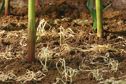 действие гербицида Лаудис на сорняки